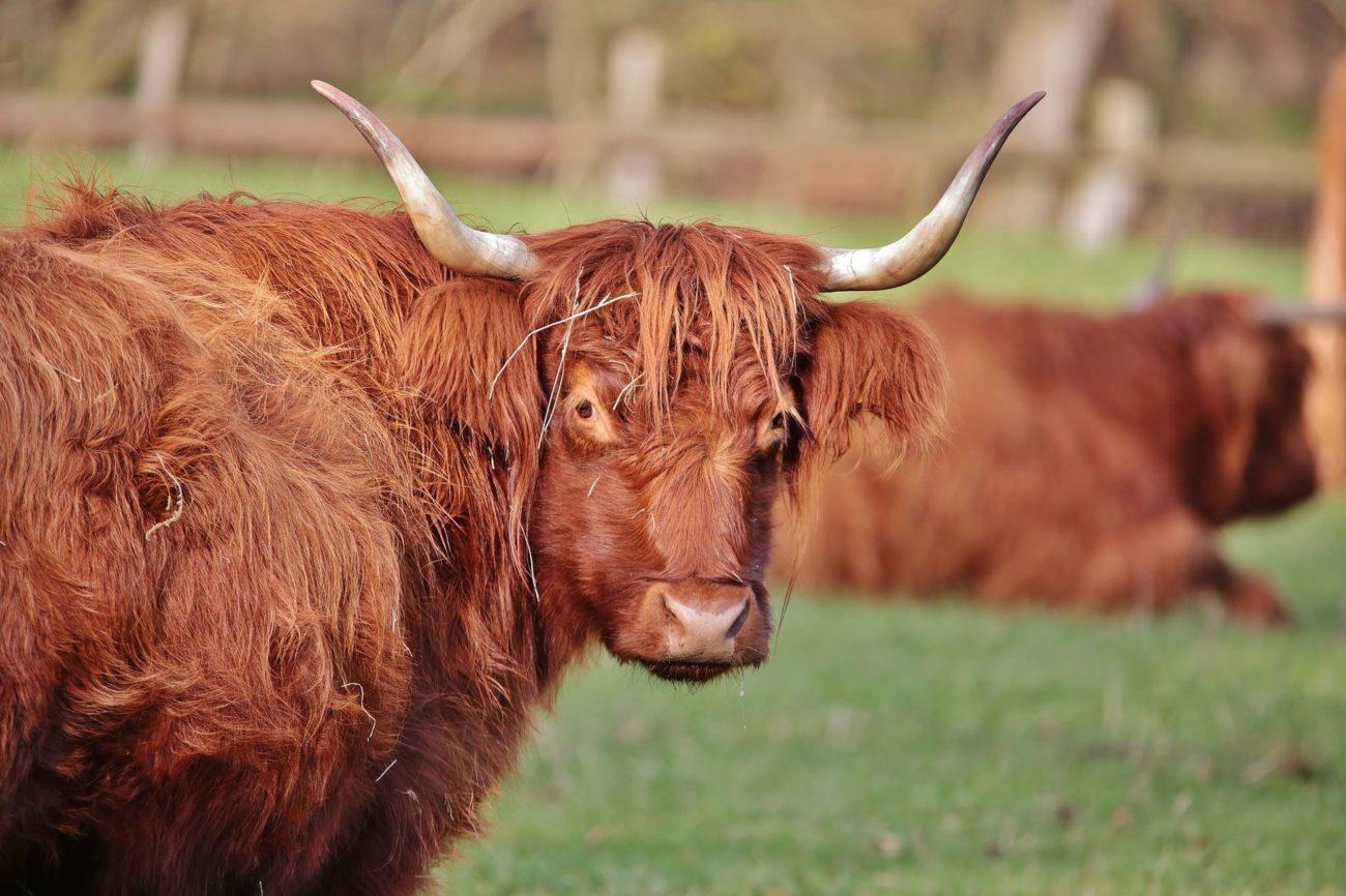 Породы быков