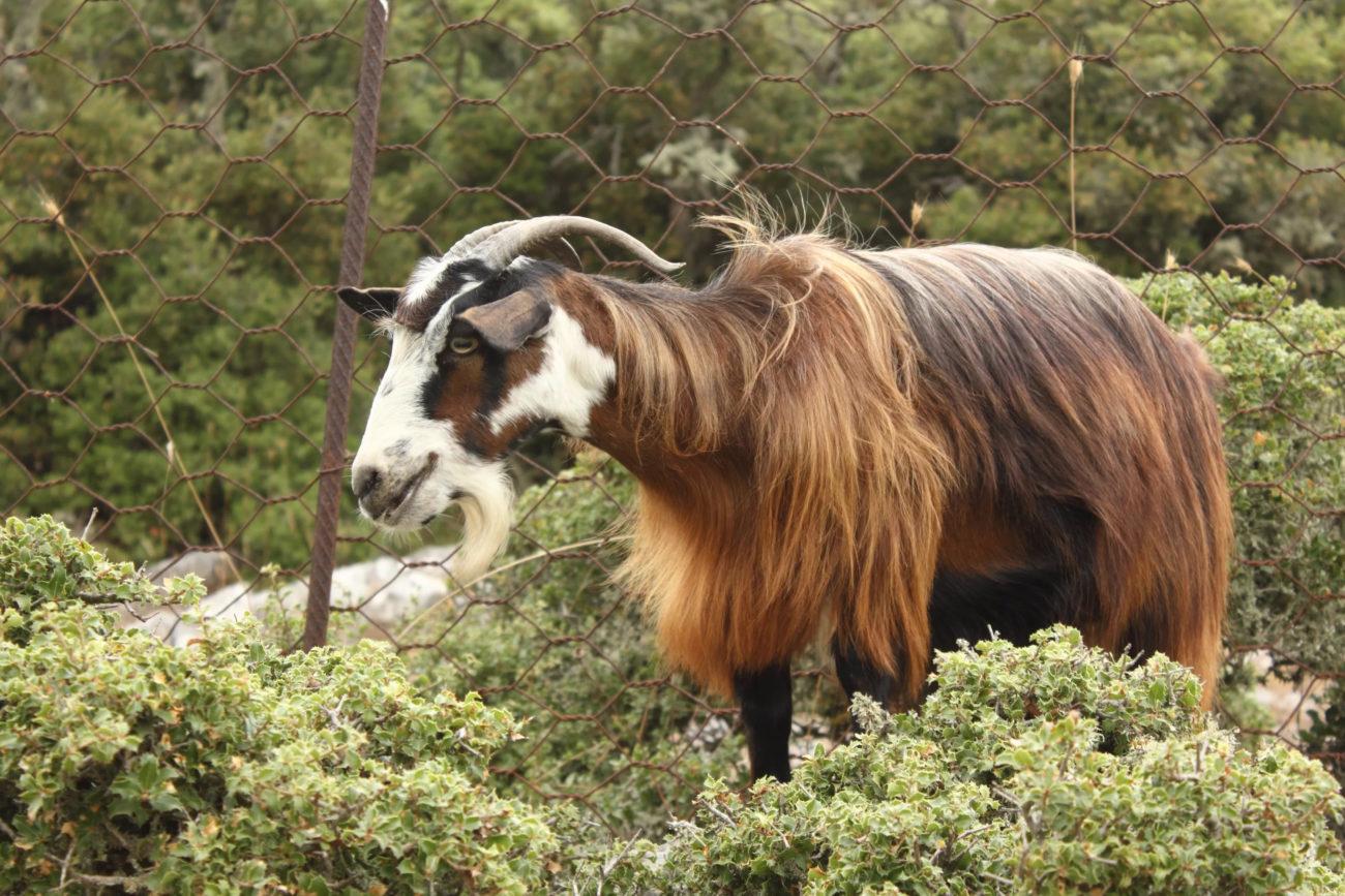 Греческая порода коз