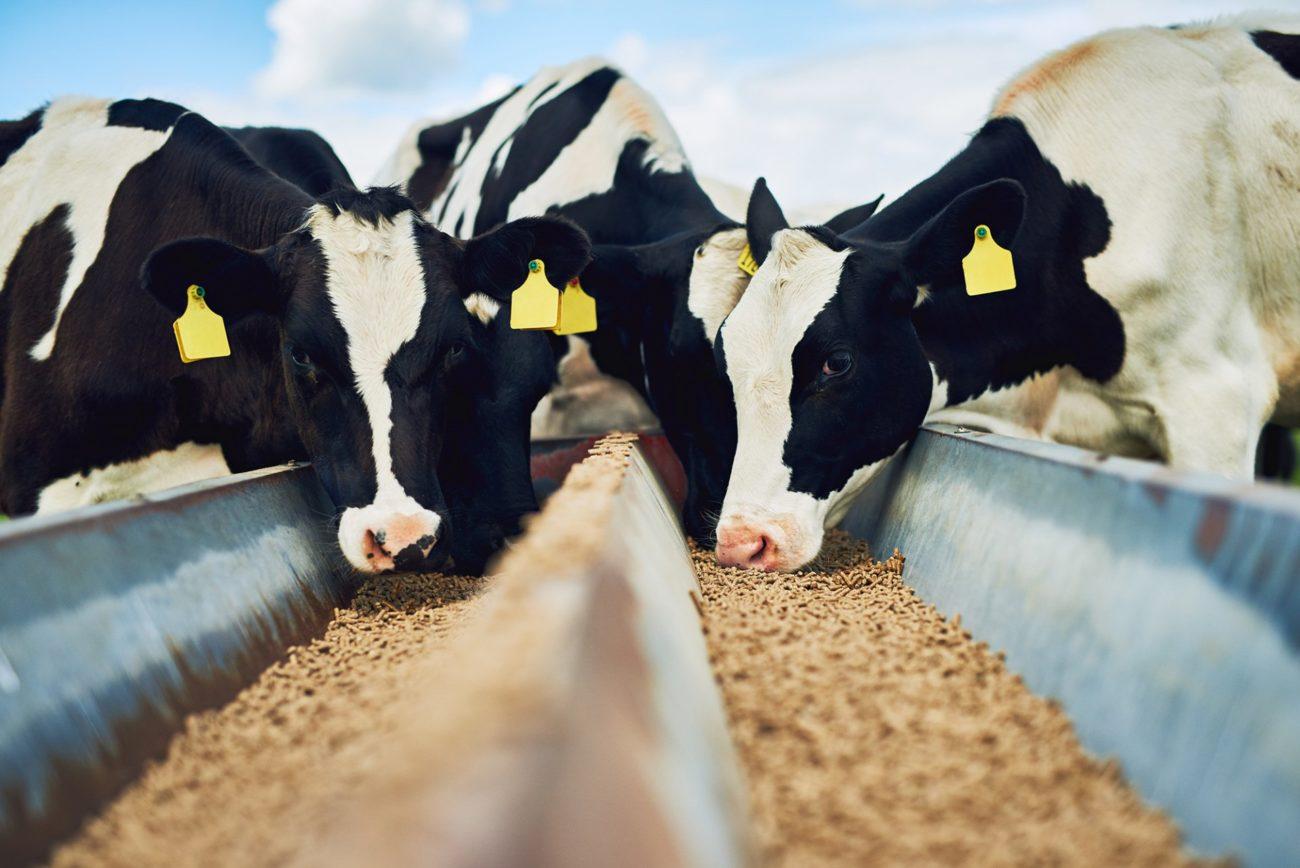 Аллергия на корм у коров
