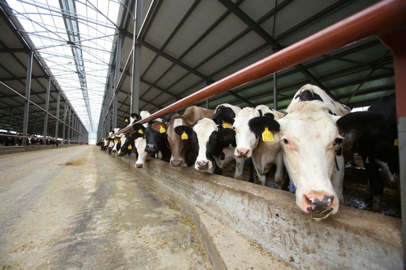 Удой коровы