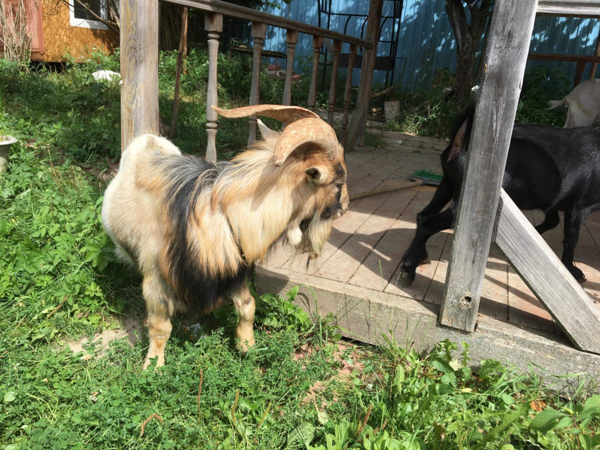 Камерунские козы без запаха