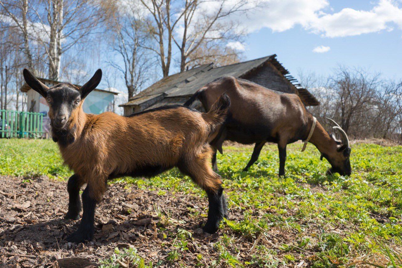 Чешская бурая порода коз