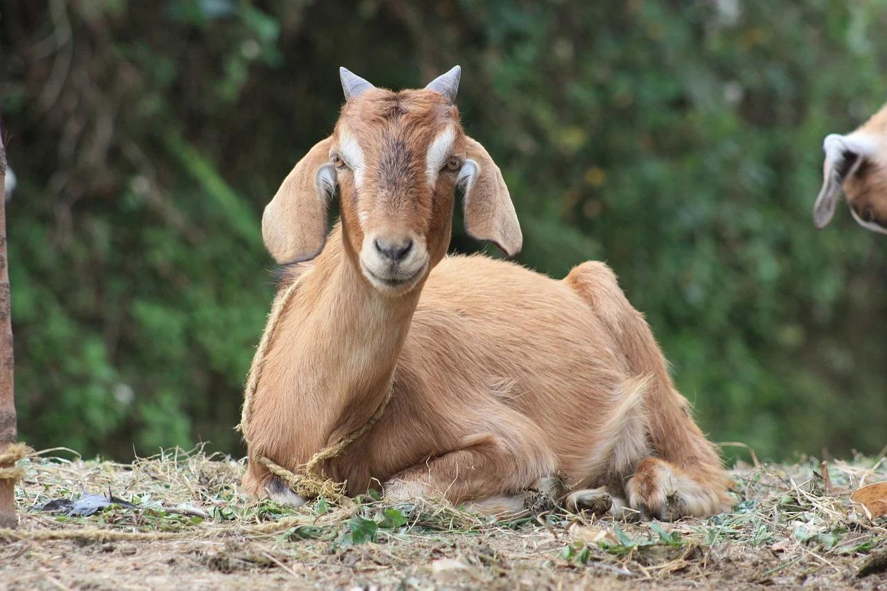 Барбари порода коз