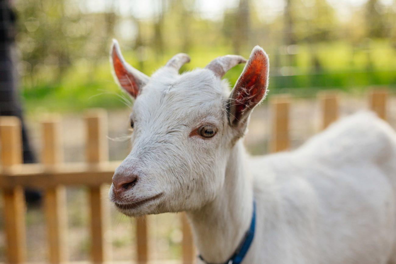 Стоимость козы в зависимости от породы