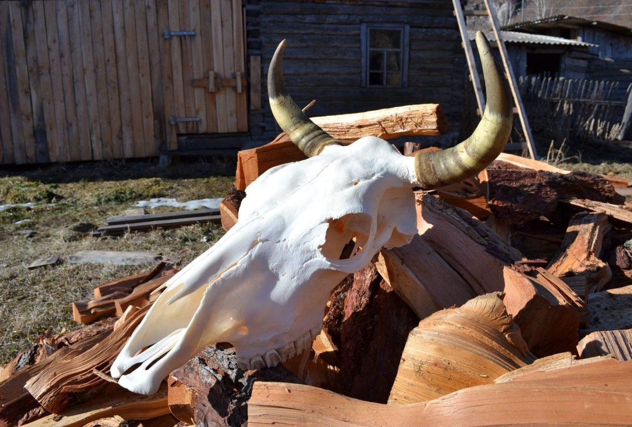 тело коровы череп