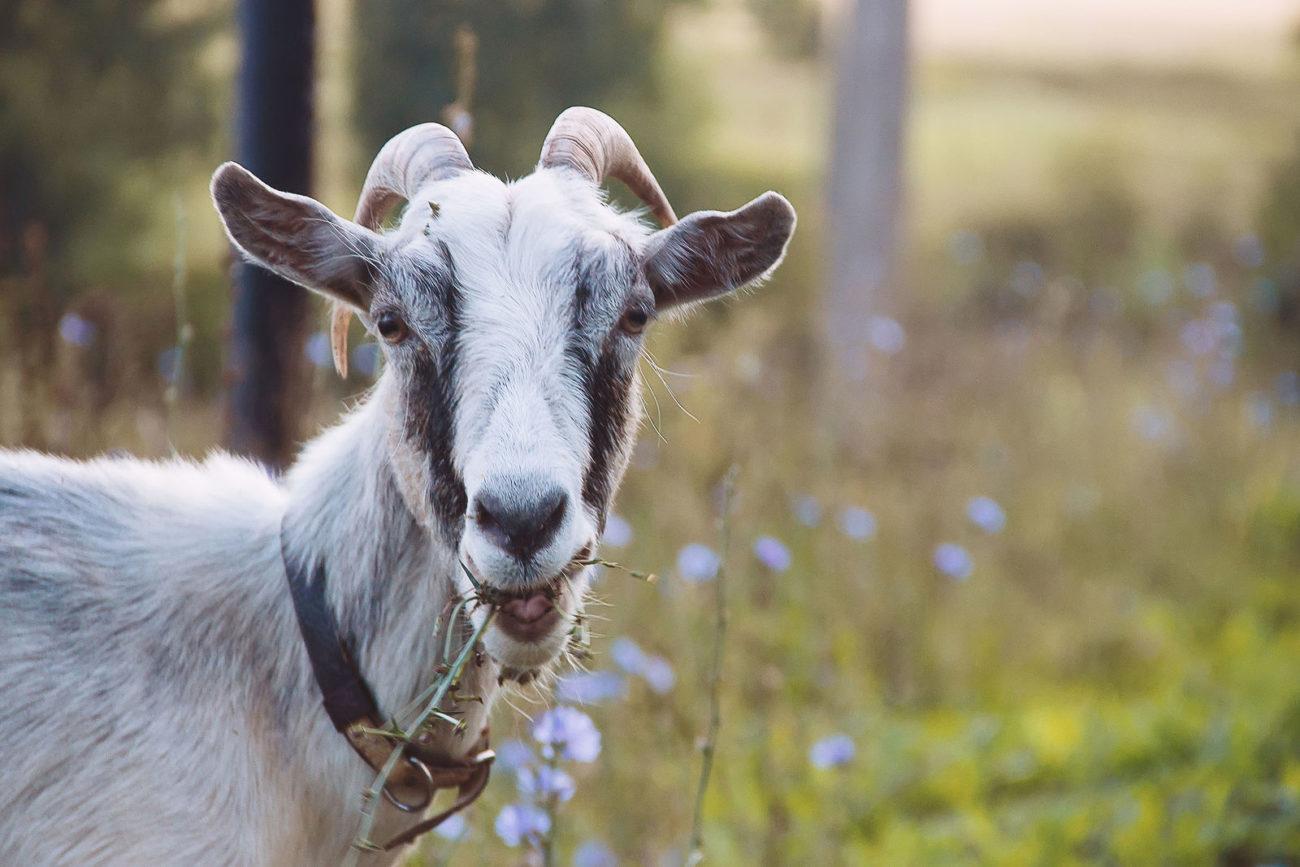 Стоимость козы
