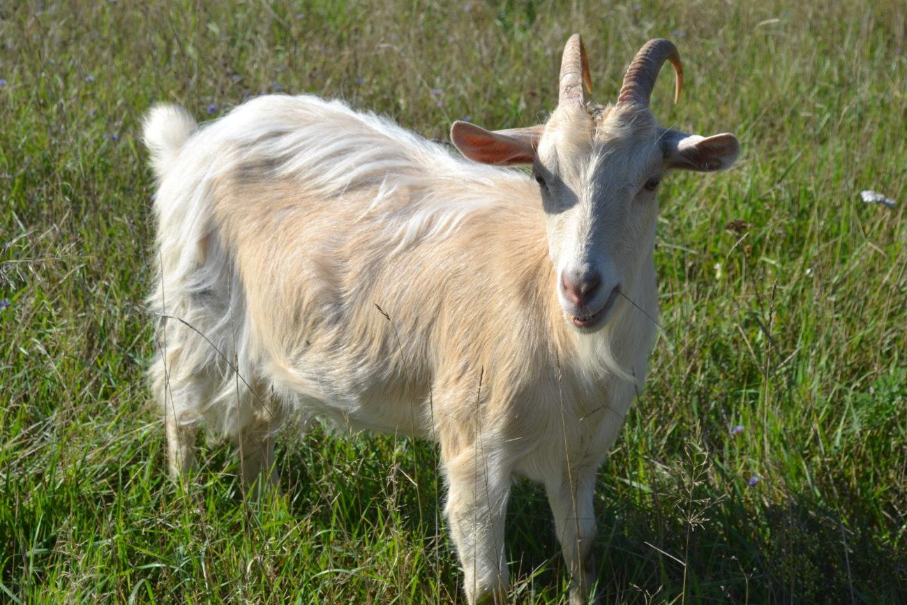 Признаки беременности у козы