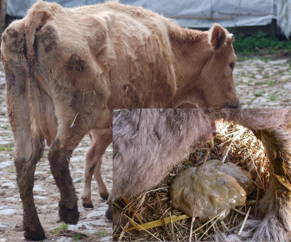 Признаки поноса у коровы