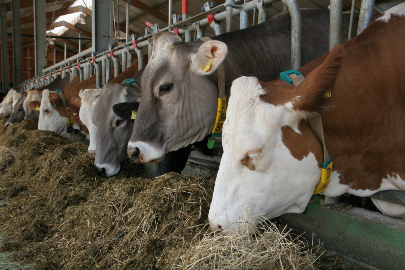 Причины поноса у коров