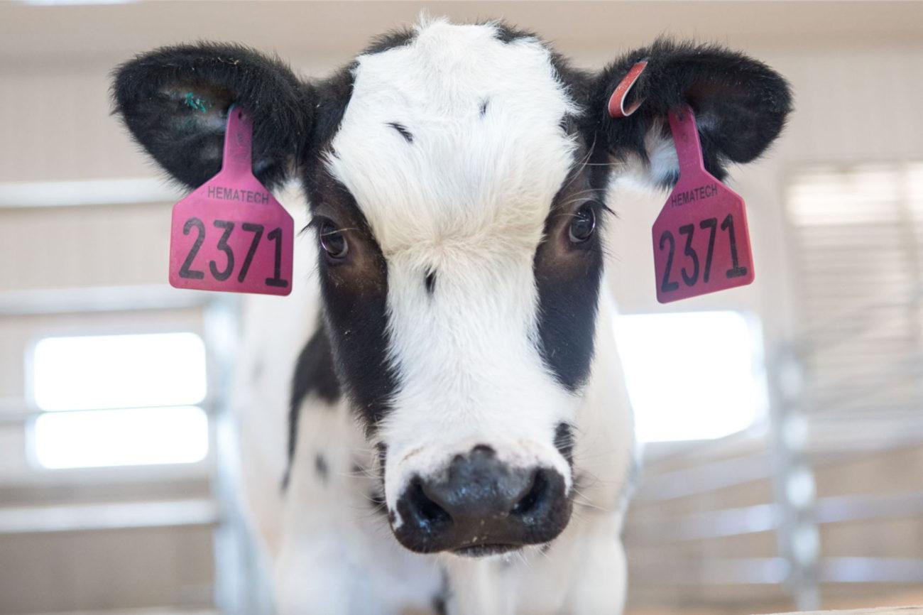 Нервная система коровы