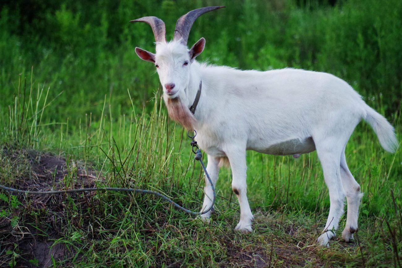 Русские белые породы коз