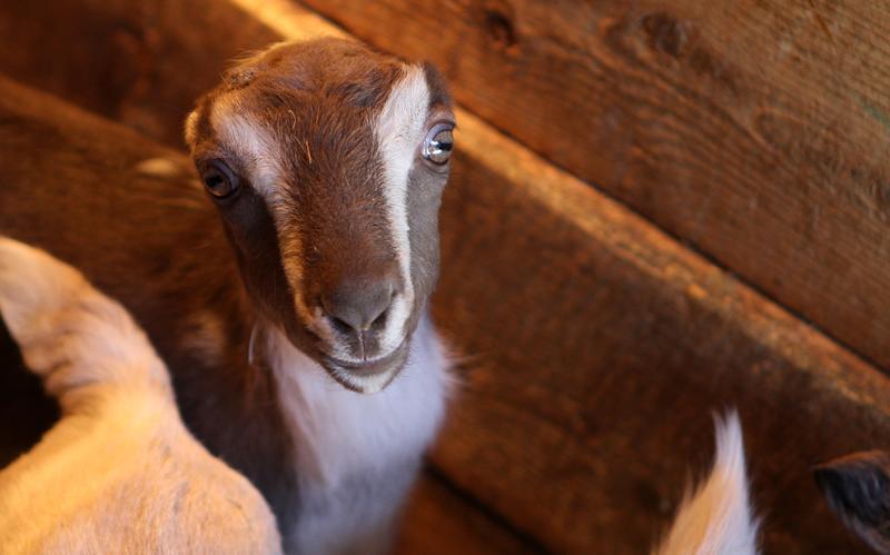 Породы коз Ламанча