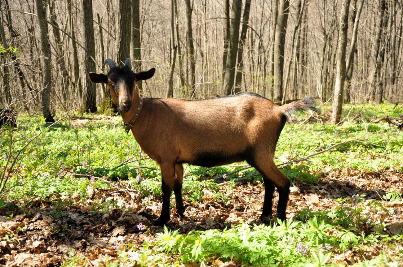 Альпийские козы без запаха