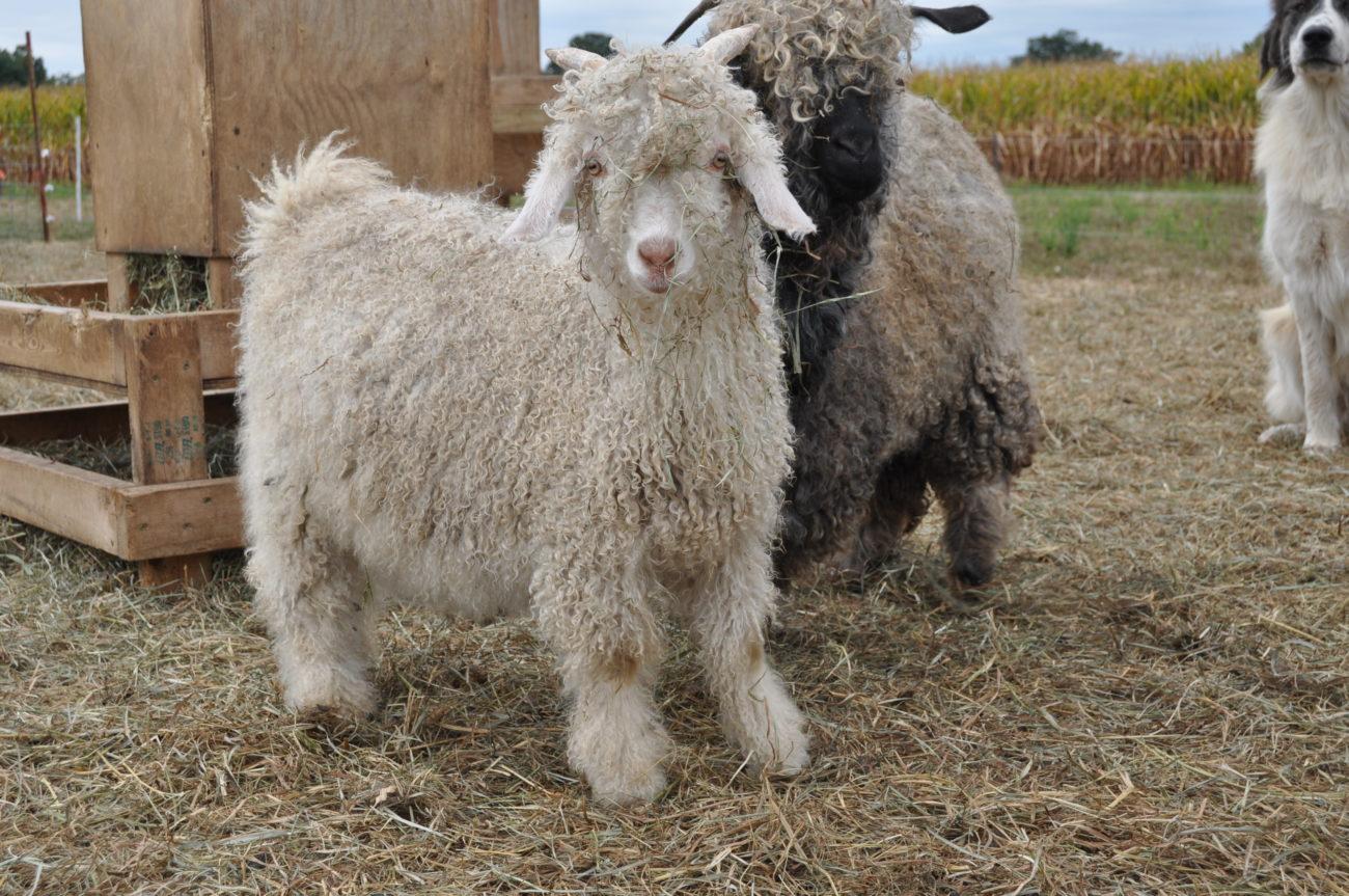 Ангорские породы коз