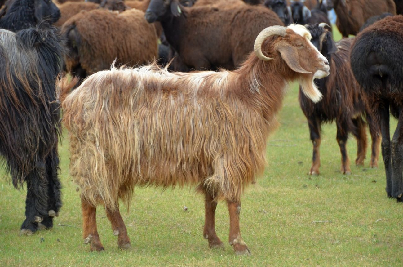 Таджикская порода коз