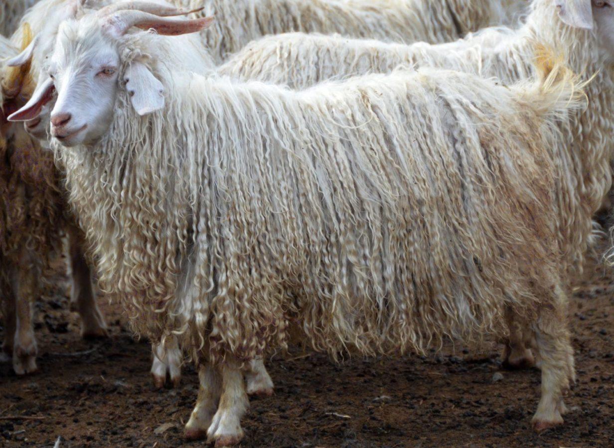 Советская порода коз