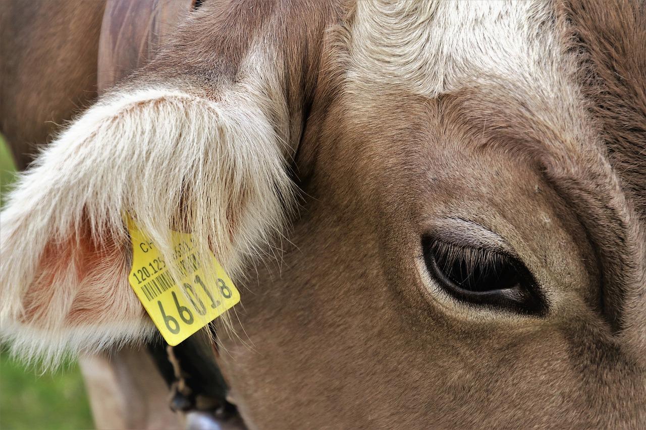 тело коровы ухо