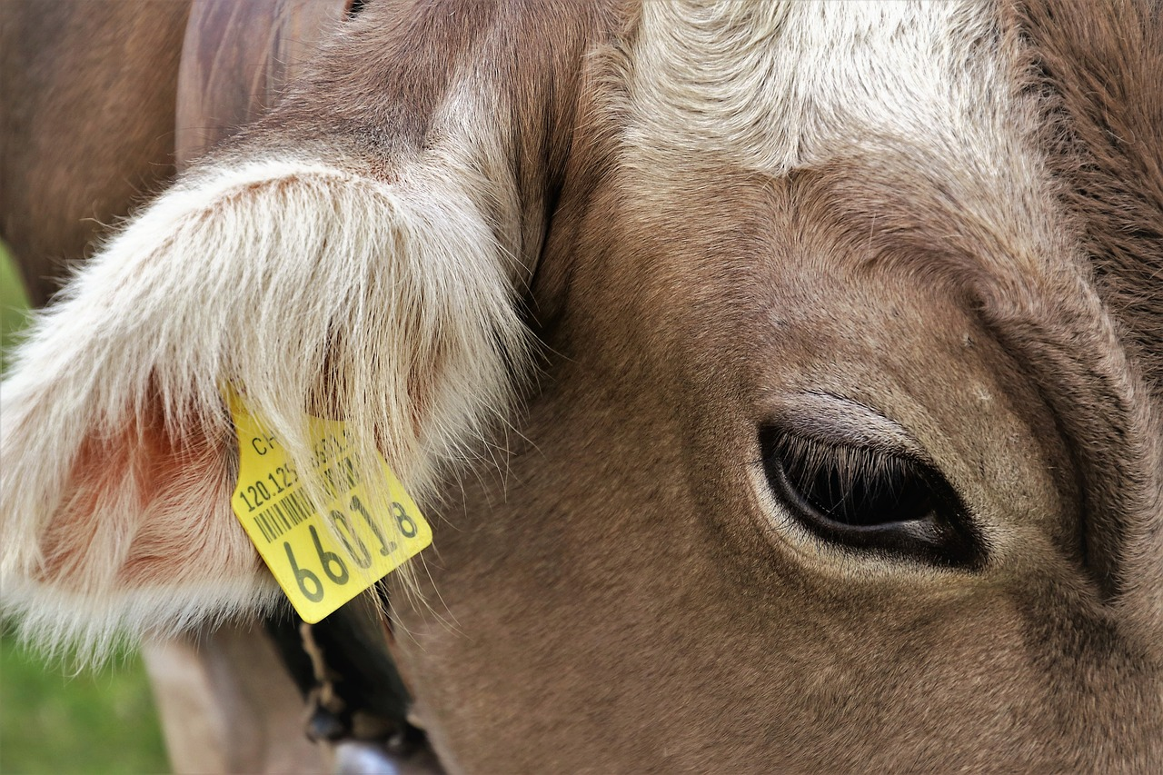 Органы слуха коровы