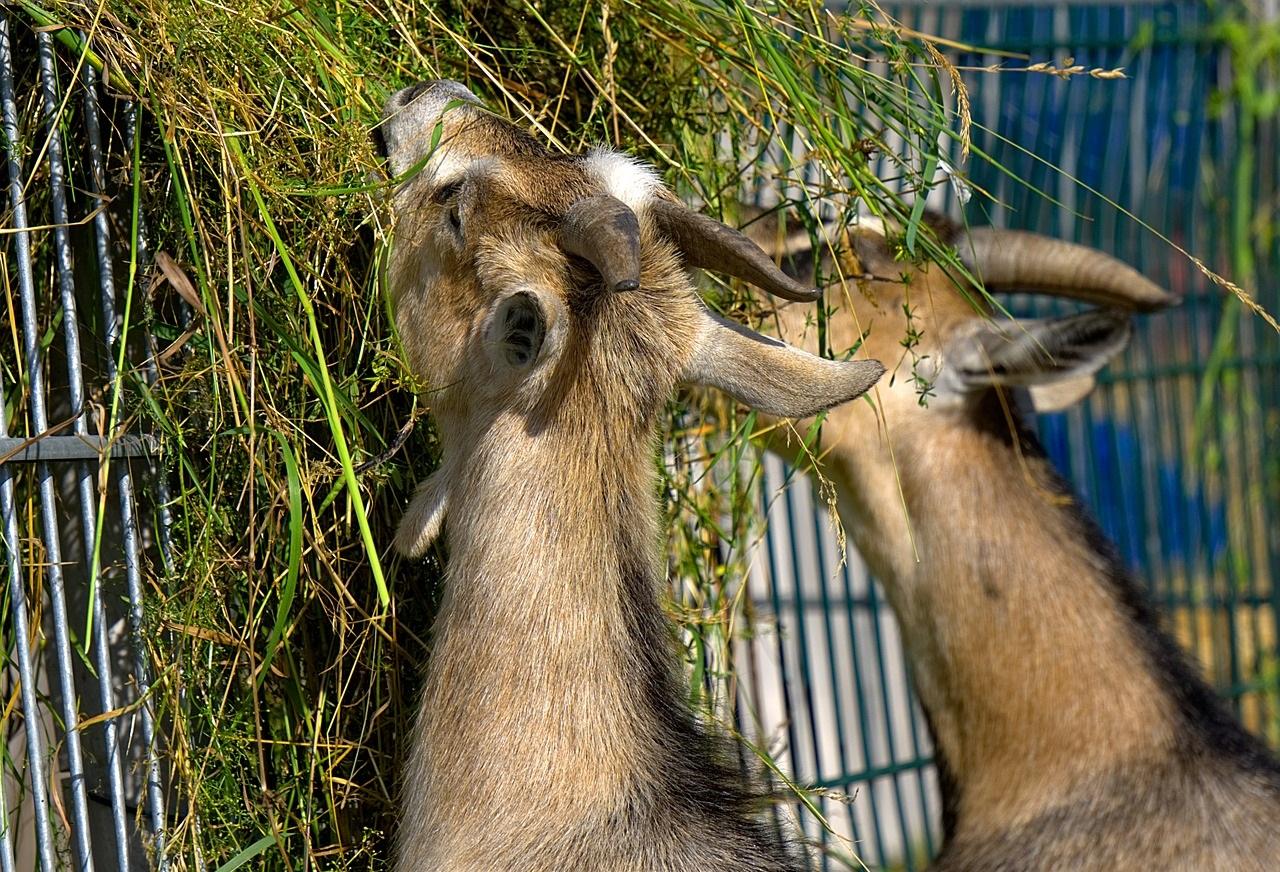 Особенности рациона козы