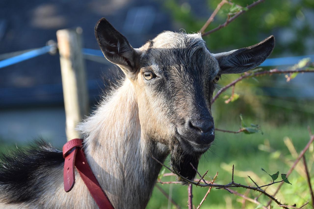 Узбекская порода коз