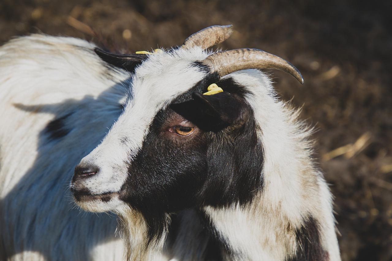 Тувинская порода коз