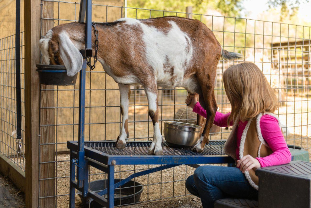 У козы пропало молоко