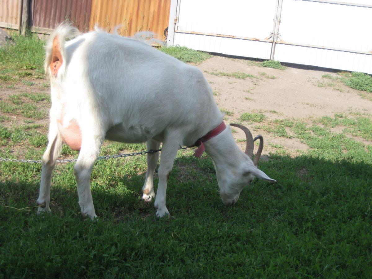 Длительность беременности у козы