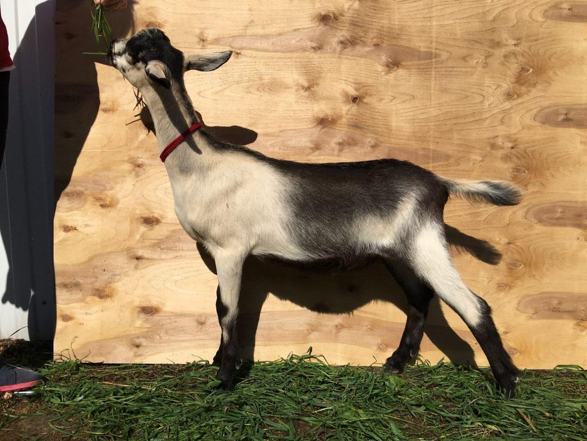 породы коз Малагуэнья