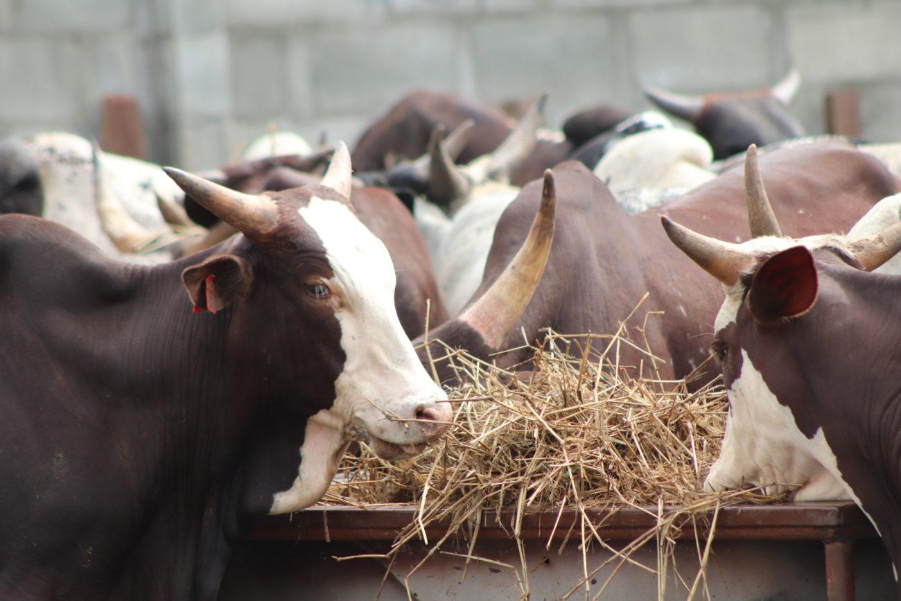 чем кормить быка