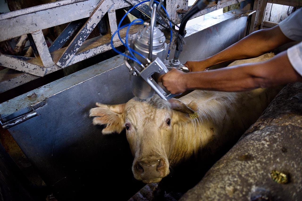 Подготовка коровы к убою