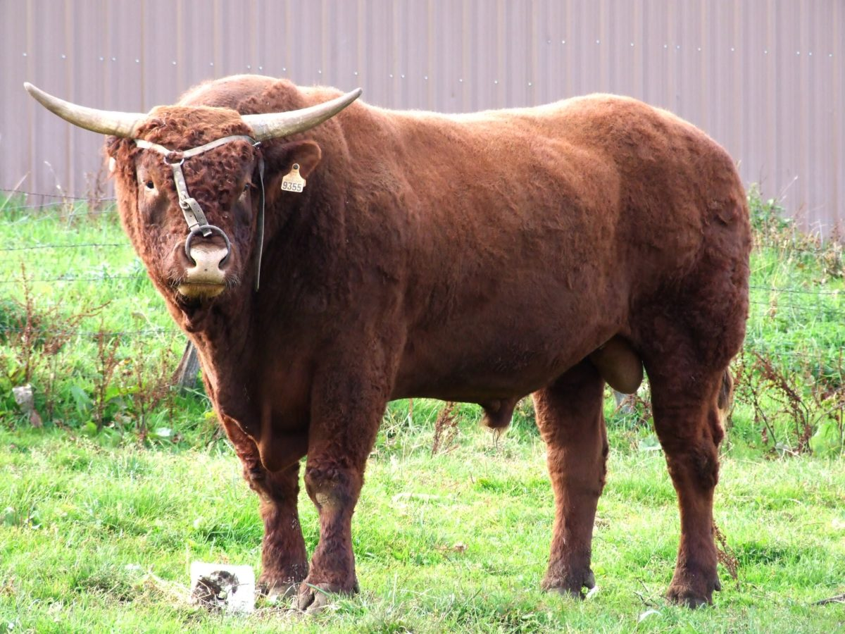 породы быков салерсы