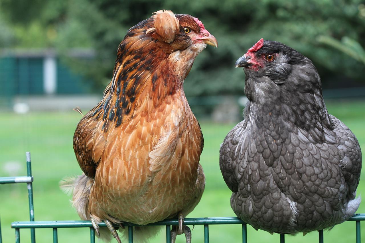 Курица Амераукана