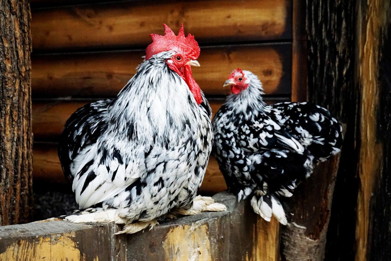 Курица Гудан