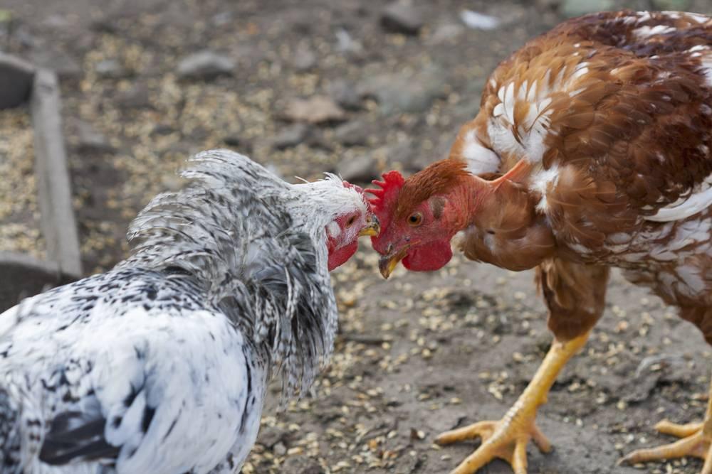 почему куры клюют петухов
