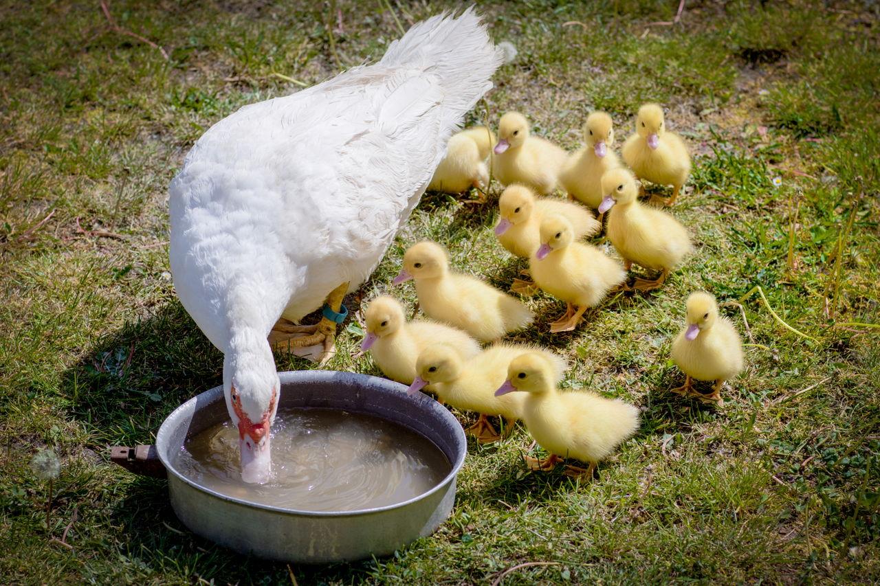 питание гусей