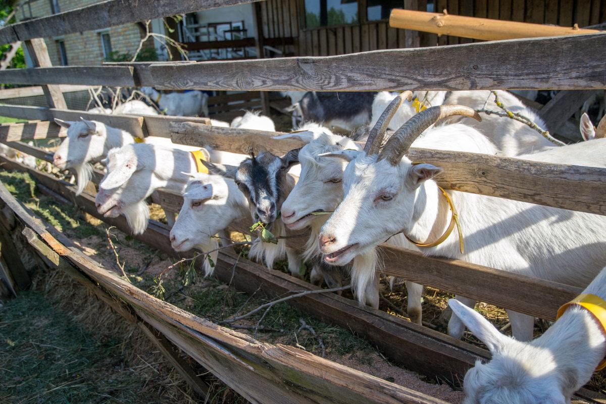 Выращивание коз