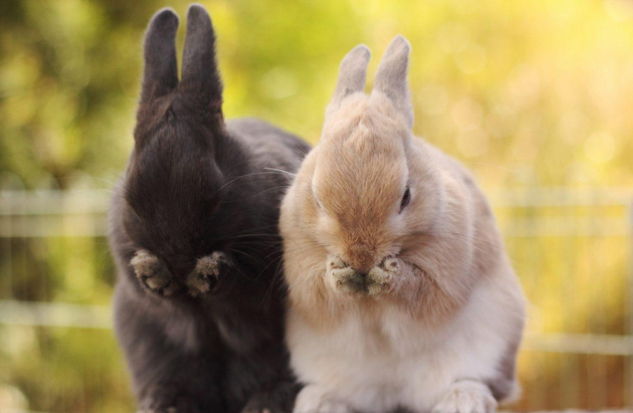 почему кролики лижутся