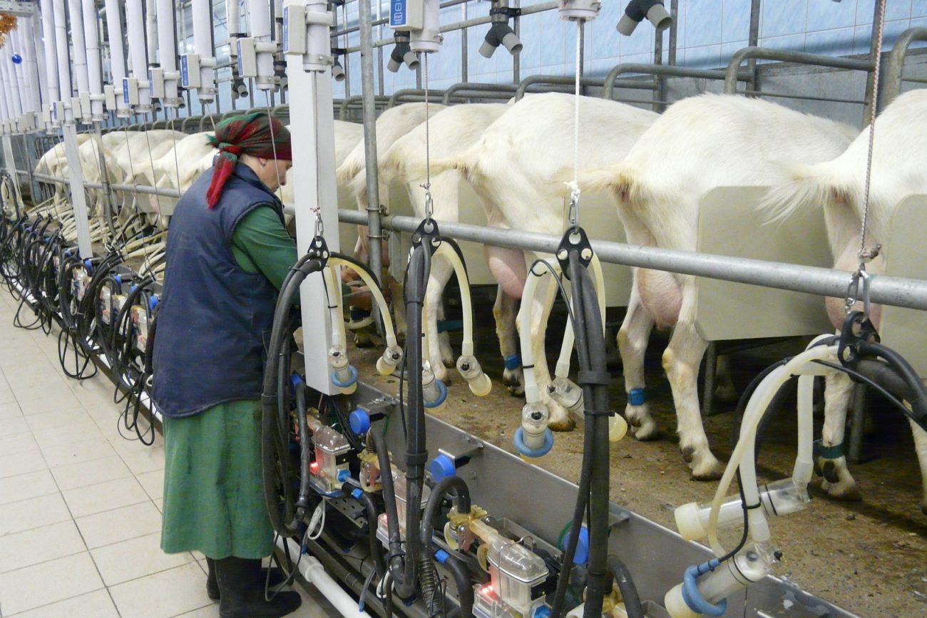 Как работает доильный аппарат для коз