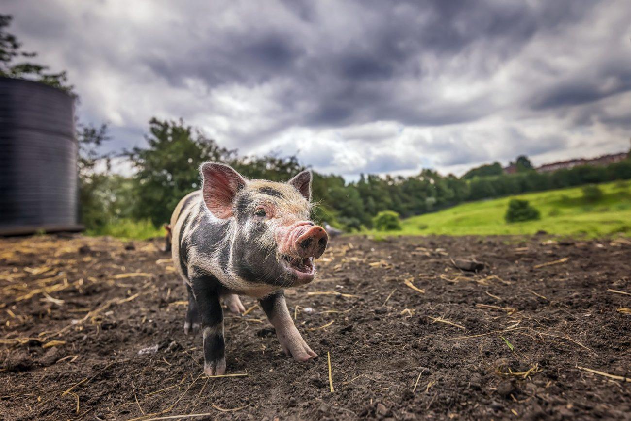 почему свинья грязное животное