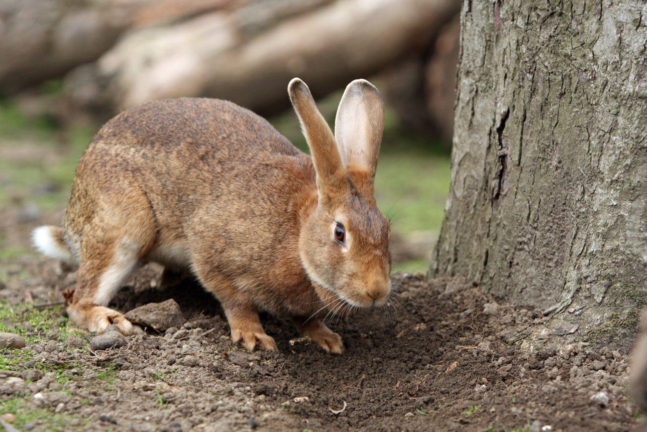 Почему топают кролики