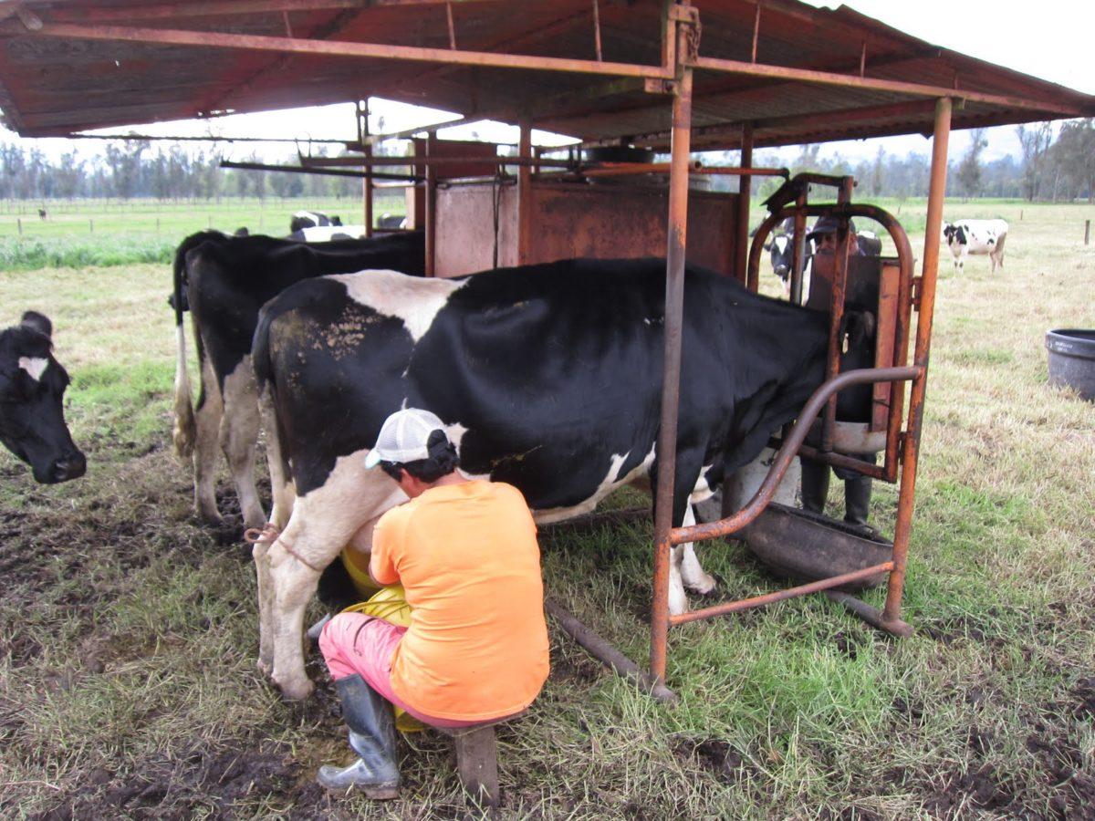 корова лягается при доении