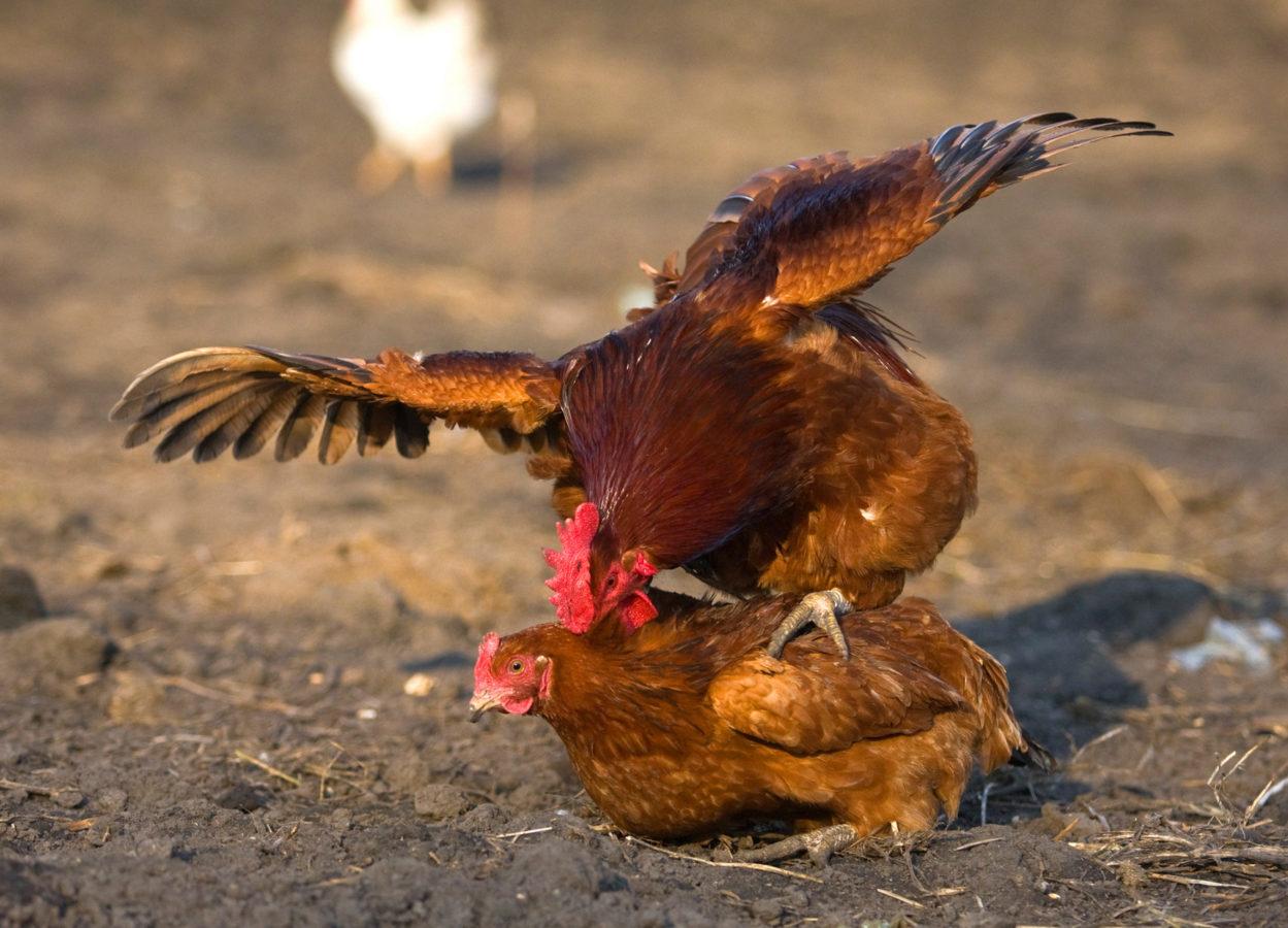 почему куры клюют друг другу перья