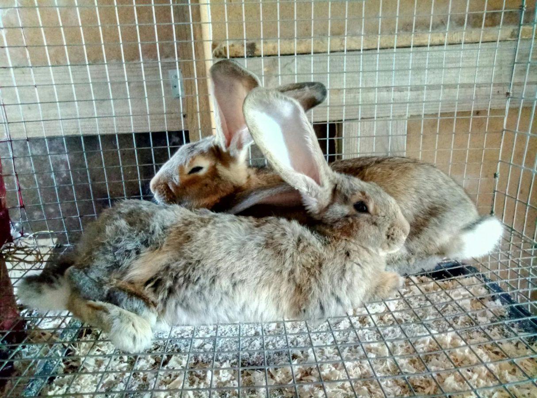 почему кролики грызут друг друга