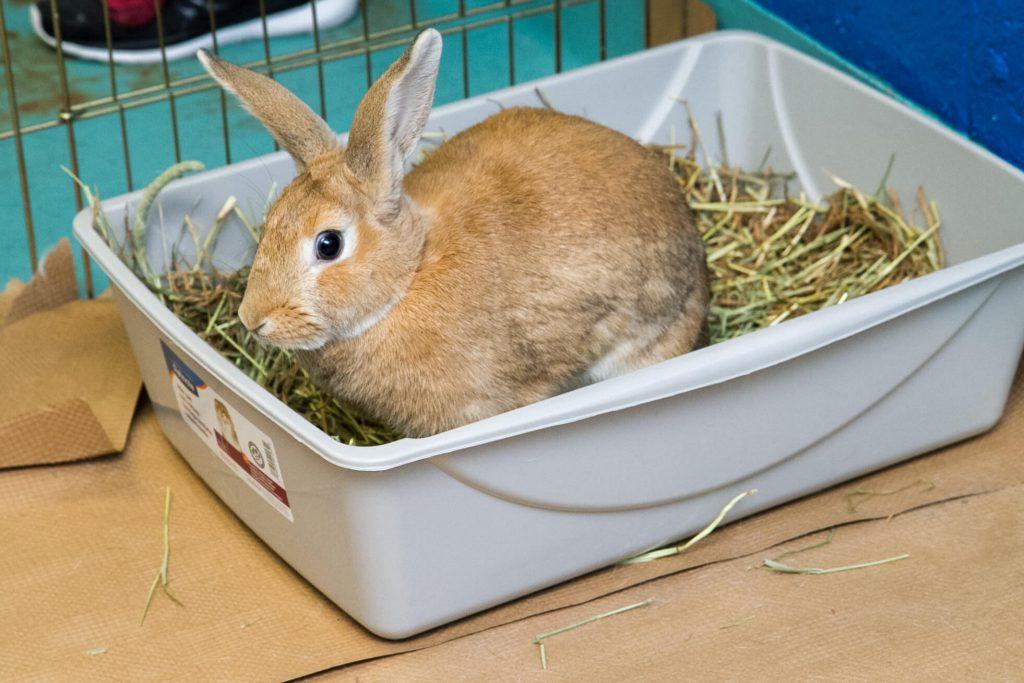почему кролик писает