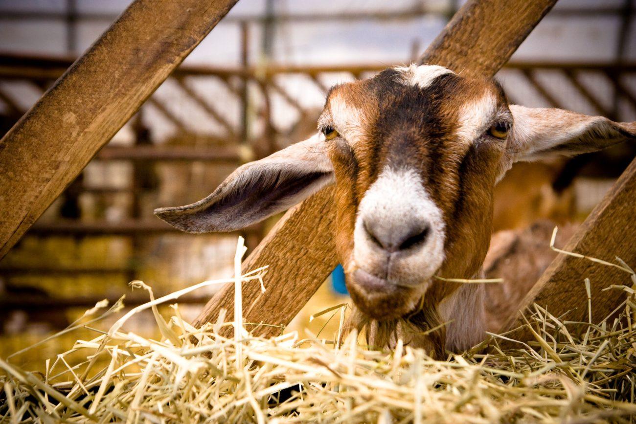 Рацион питания коз