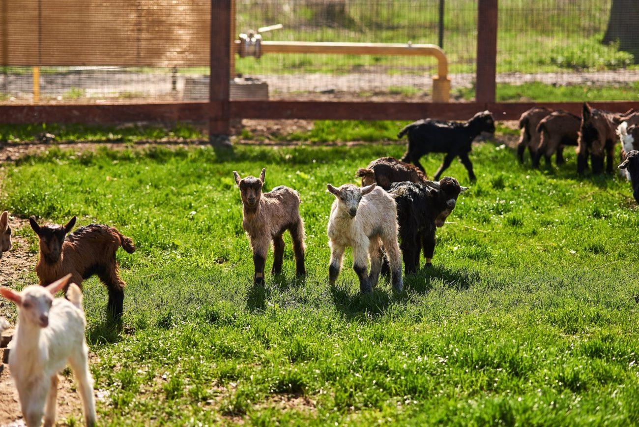 Проект мини-ферма коз