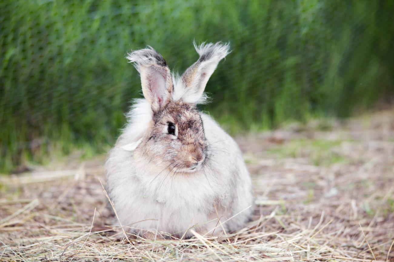 Кролик линяет