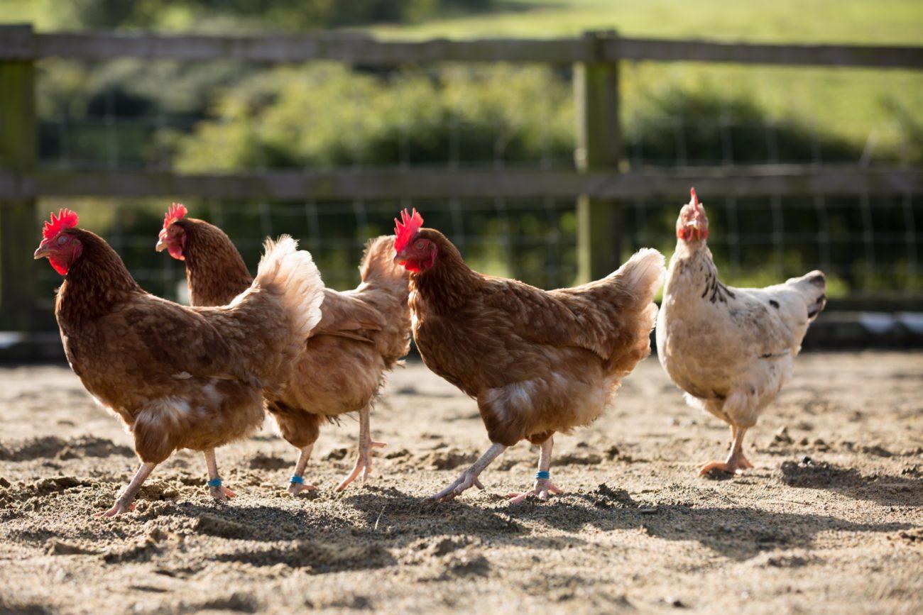 где купить курицу