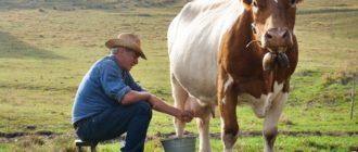 корова не дает молоко