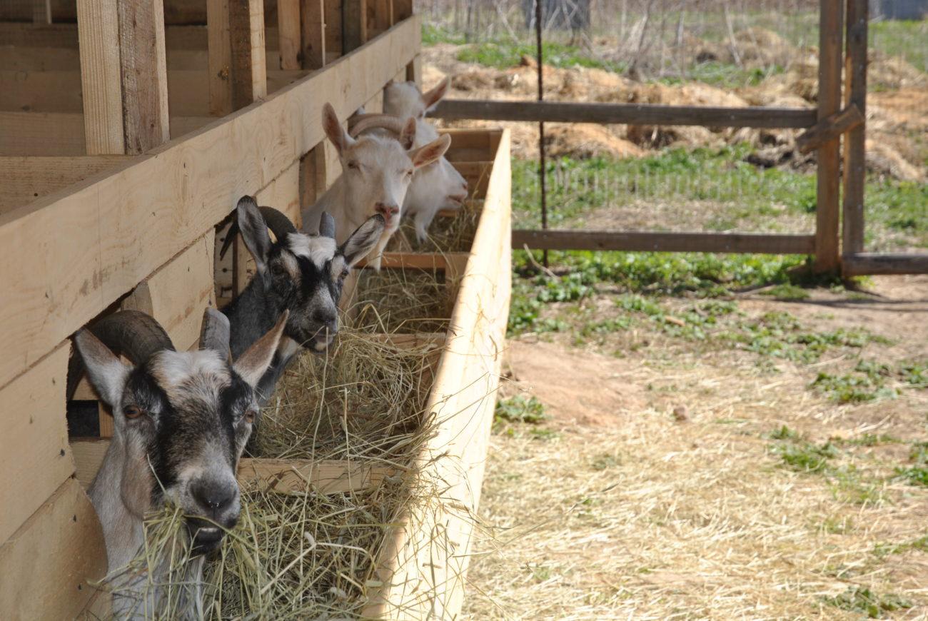 Работники козьей фермы
